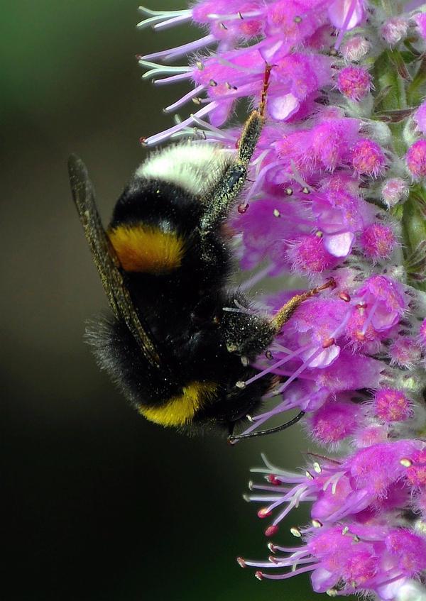Bumblebee's Acrobatics by Althytrion