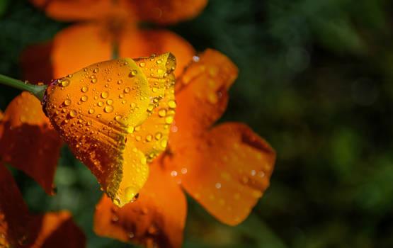 Golden Dew