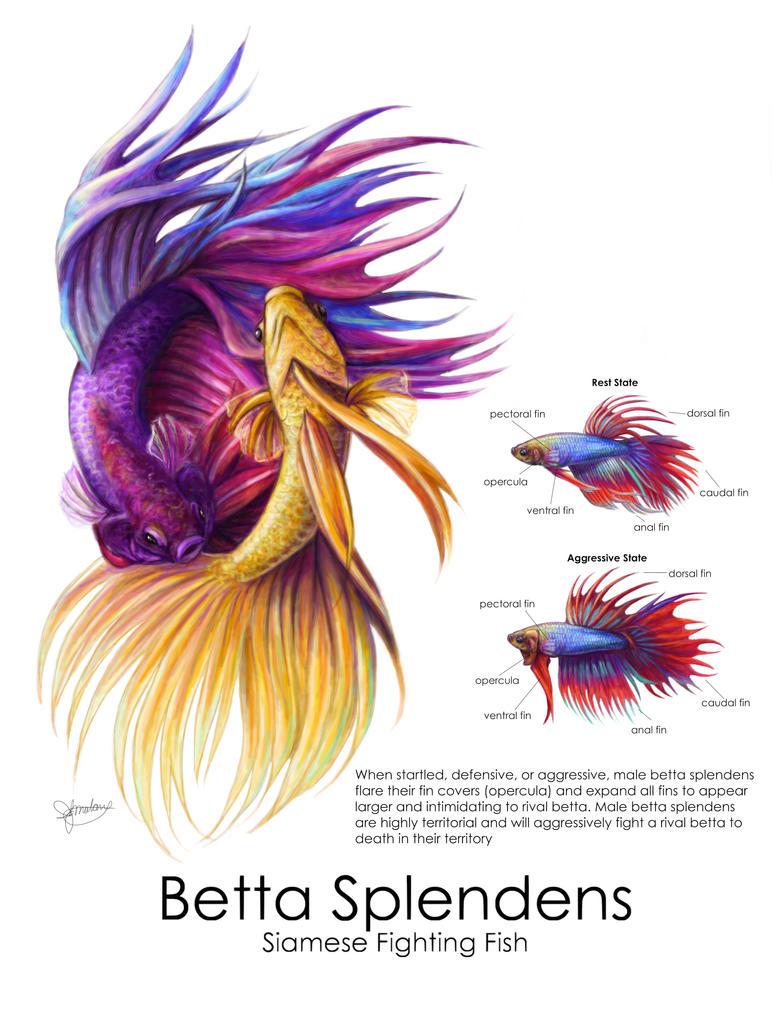 Betta splendens illustration by lingxchan on deviantart for Betta fish friends