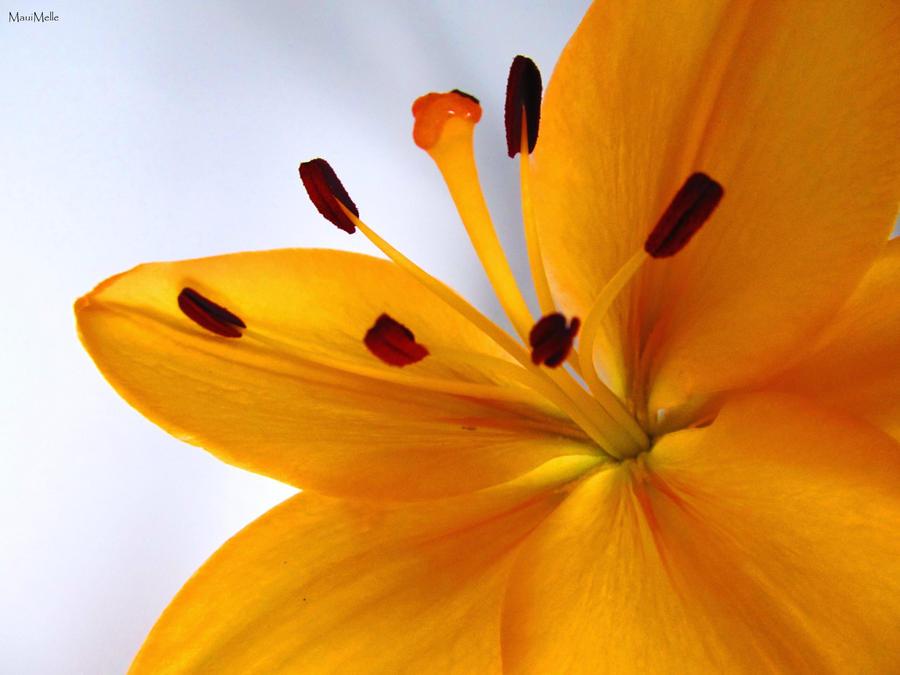 Soft orange. by MauiMelle