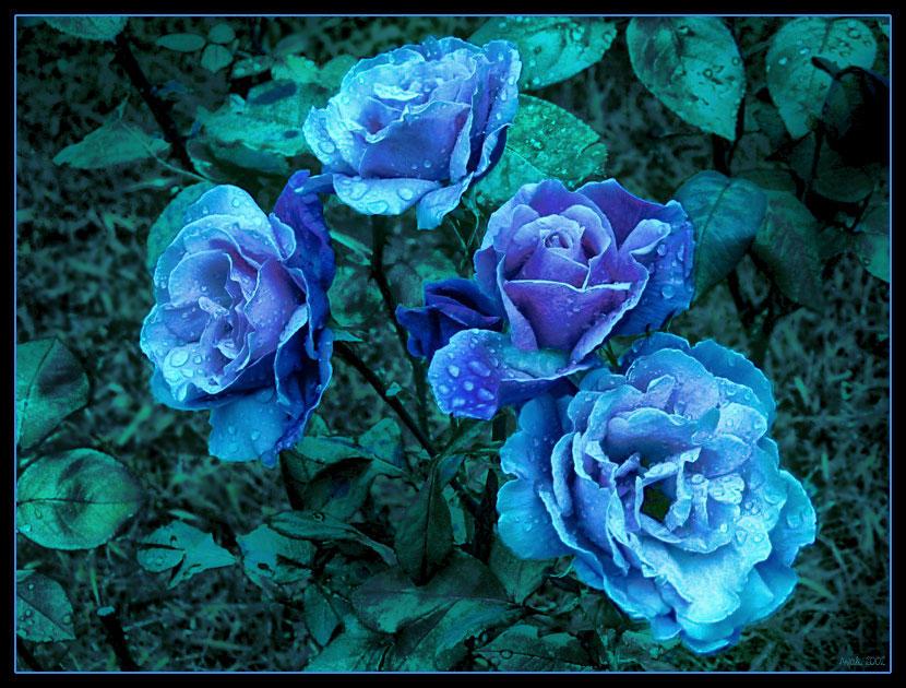 Blue Roses By Anjali On Deviantart