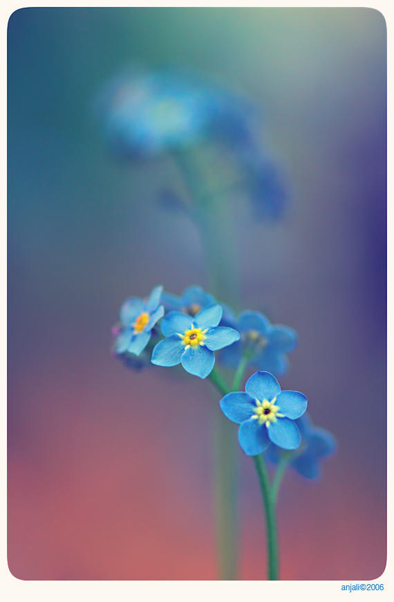 Forget me not - 1 by ~anjali on deviantART