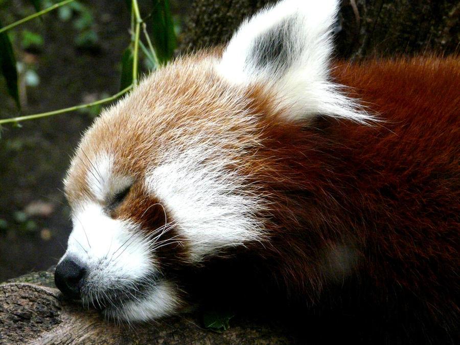 Red Panda II by Jisei