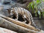 Clouded Leopard VIII