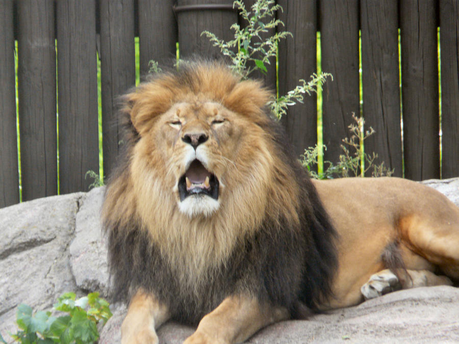 Lion VII