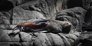 Seal on Bruny Island by KarlDawson