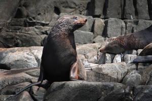 Seal on Bruny Island II by KarlDawson
