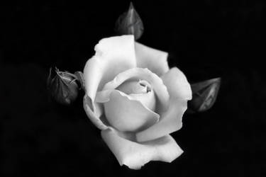 White Rose by KarlDawson