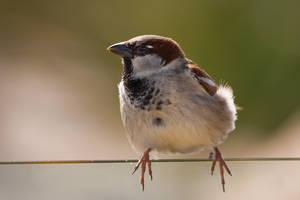 House Sparrow on wire by KarlDawson