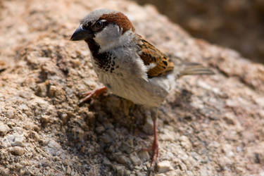 House Sparrow on the ground by KarlDawson