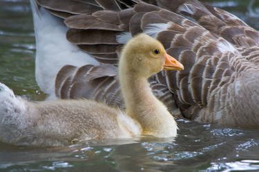 Goose and Gosling by KarlDawson
