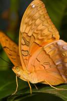 Butterfly III by KarlDawson