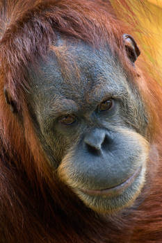 Orangutan Portrait II