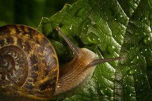 Garden Snail II by KarlDawson