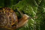 Garden Snail II