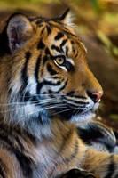 Sumatran tiger portrait by KarlDawson