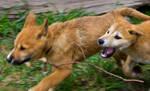 Dingo Pup - Stick Chasey