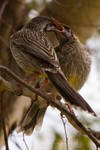 Red Wattlebird feeding chick by KarlDawson