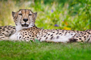 Cheetah resting by KarlDawson