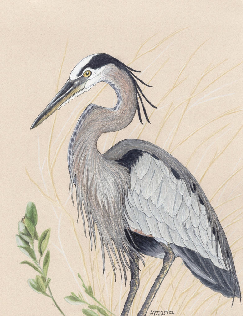 Great blue heron clip art