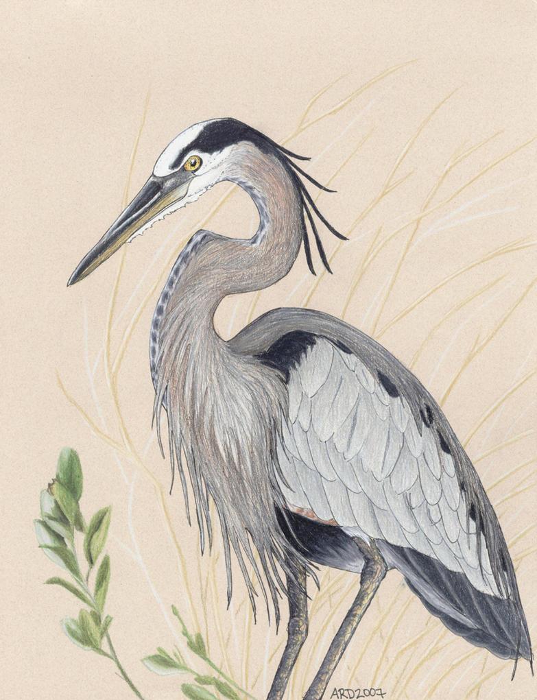 Great blue heron clip art