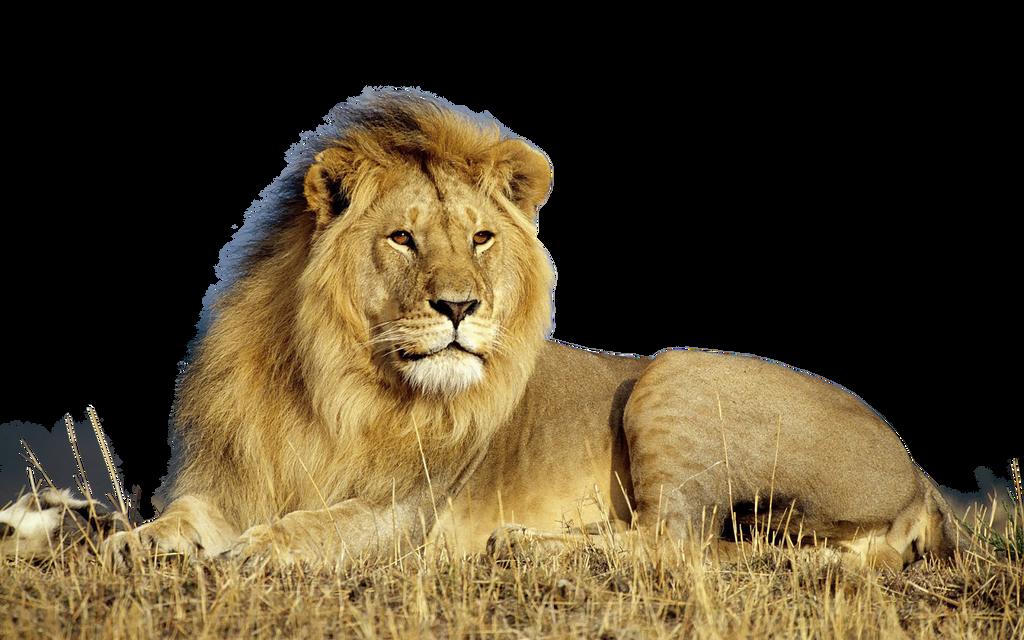 صور اسود سكرابز اسود صور اسود مفرغة png صور اسود lion_by_xoxo9696-d800fgf.png
