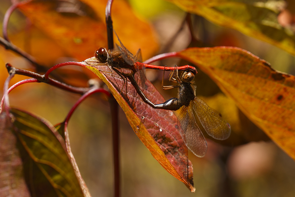 Dragonfly Romance by BlackRoomPhoto