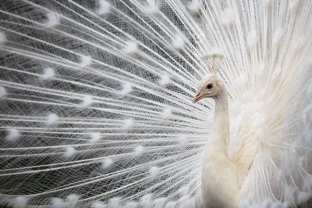 White Peacock by BlackRoomPhoto