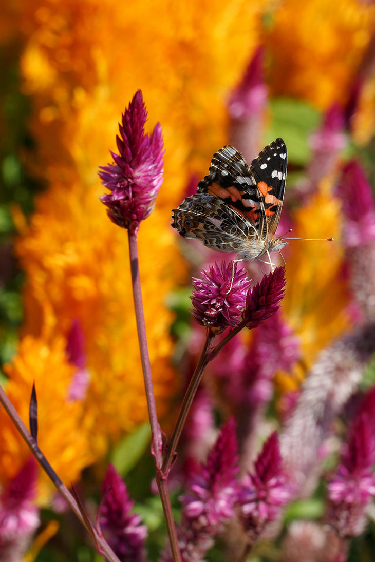 Painted Lady 2 by BlackRoomPhoto