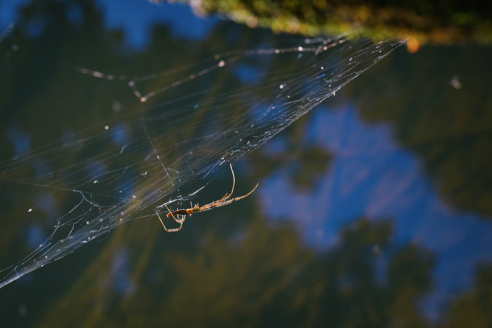 Elongate Stilt Spider by BlackRoomPhoto