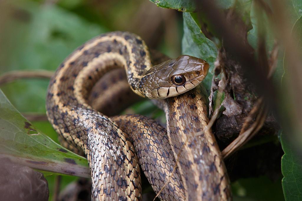 Eastern Garter Snake by BlackRoomPhoto