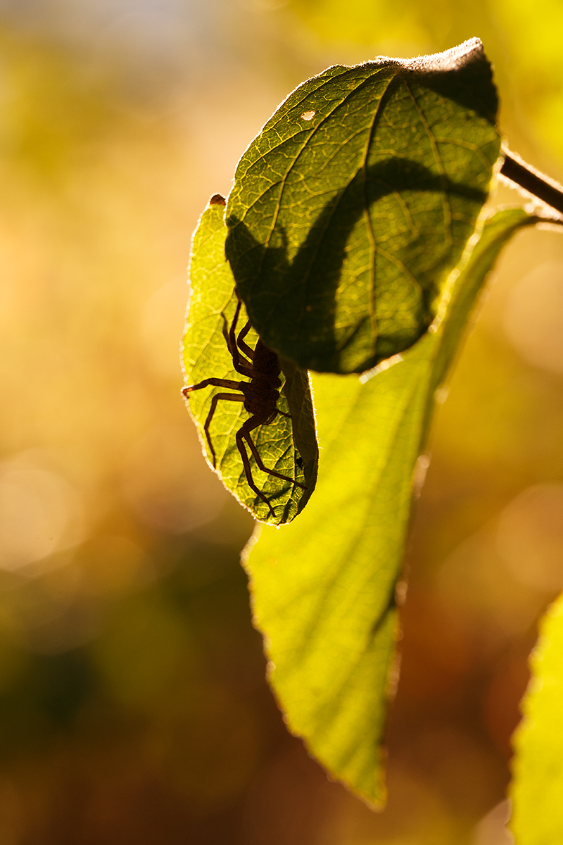 Backlit Spider by BlackRoomPhoto