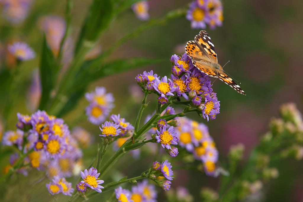 Painted Lady by BlackRoomPhoto