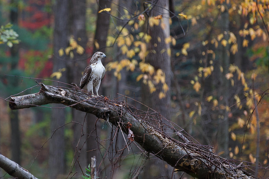 Red Tailed Hawk by BlackRoomPhoto