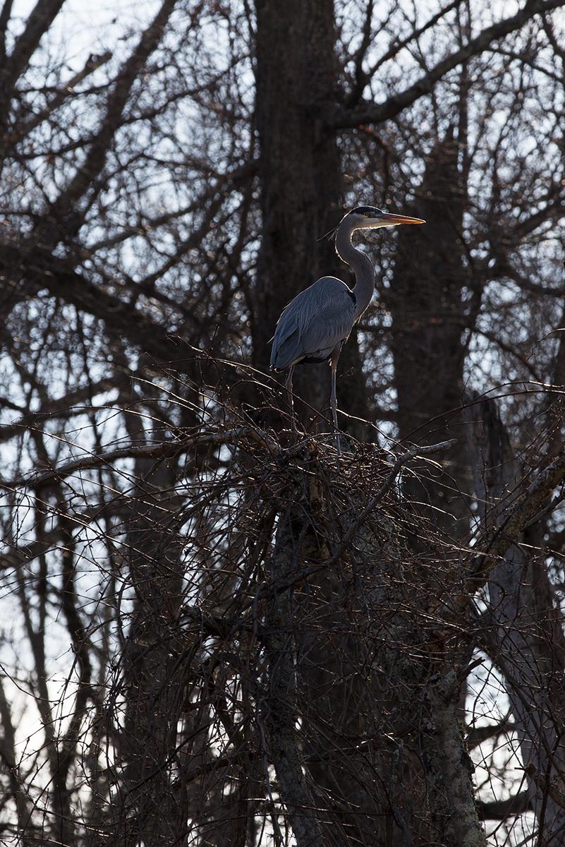 Heron by BlackRoomPhoto