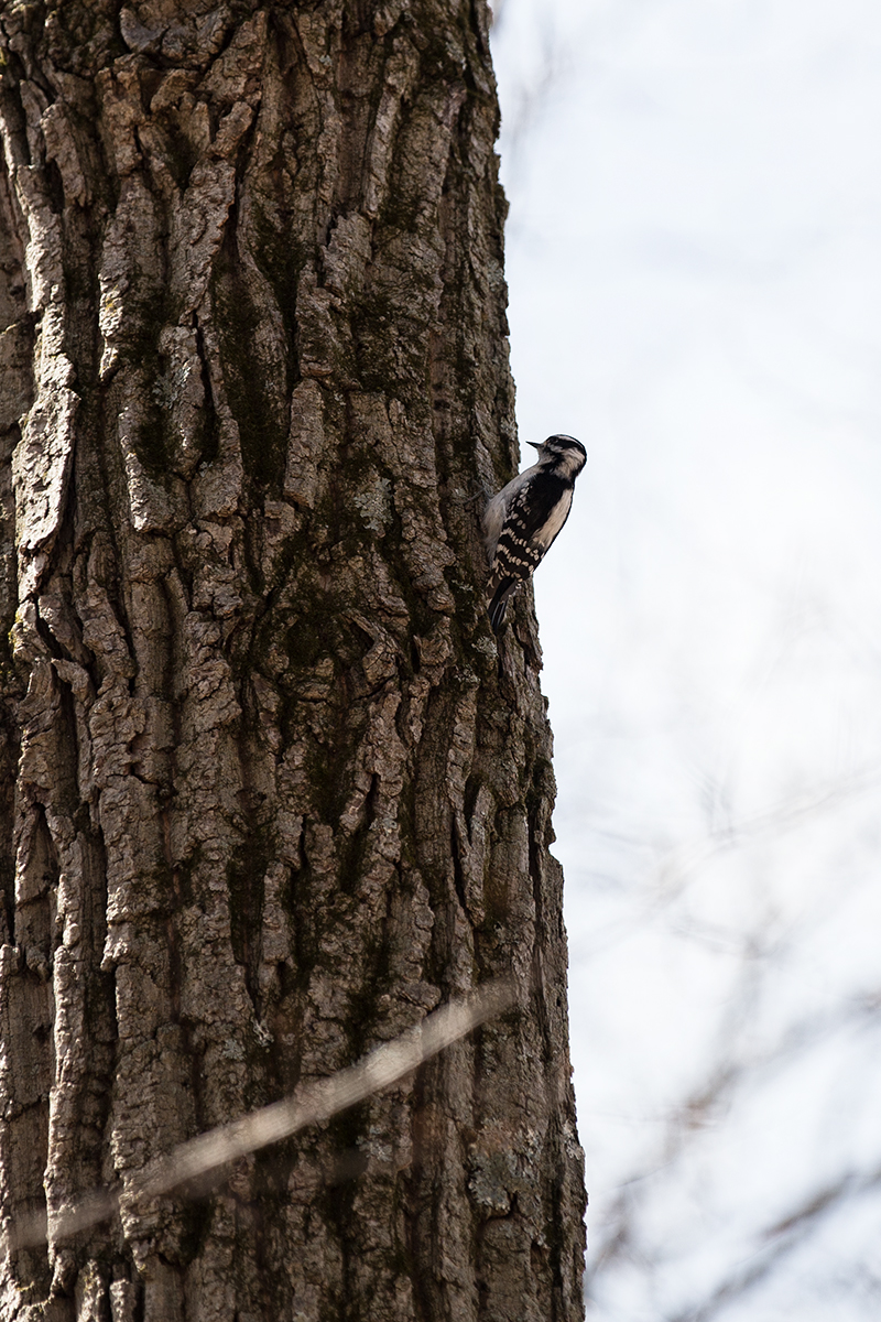 Woodpecker by BlackRoomPhoto