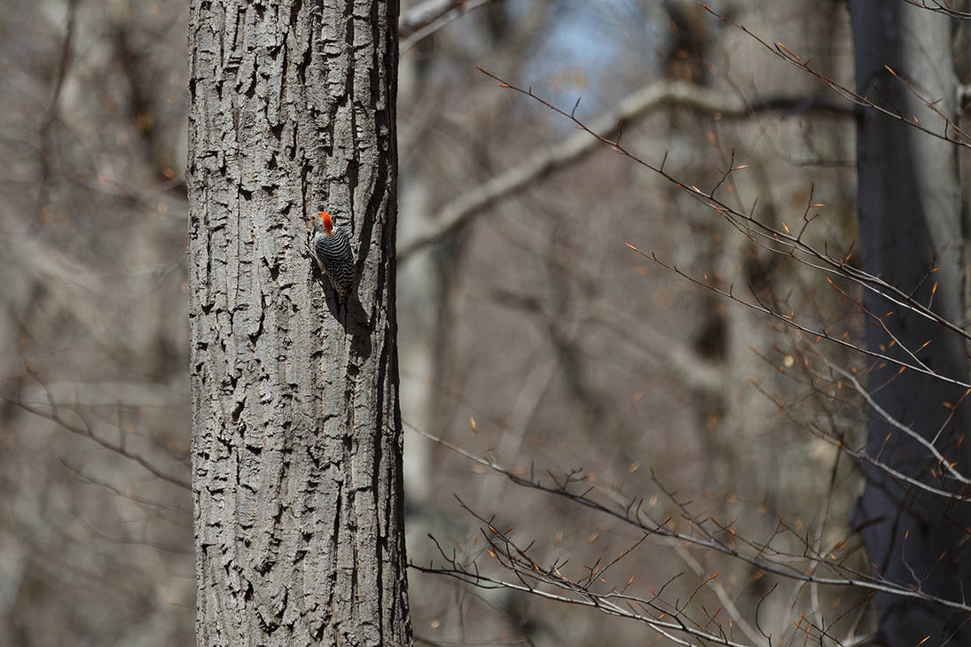 Red Bellied Woodpecker by BlackRoomPhoto