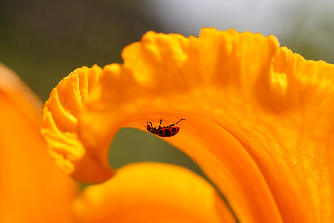 Spotted Lady Beetle by BlackRoomPhoto