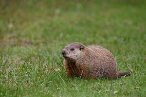 Groundhog by BlackRoomPhoto