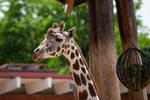 Bemused Giraffe