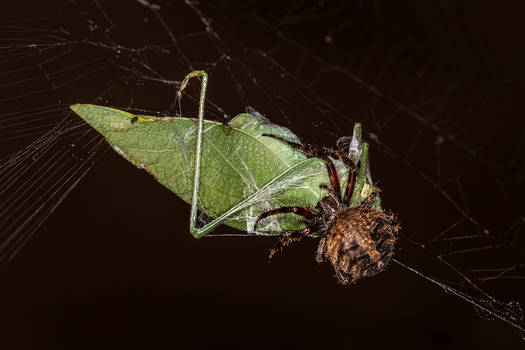 Cross Spider Catches a Katydid