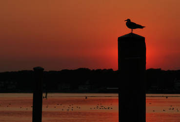 Seagull by BlackRoomPhoto