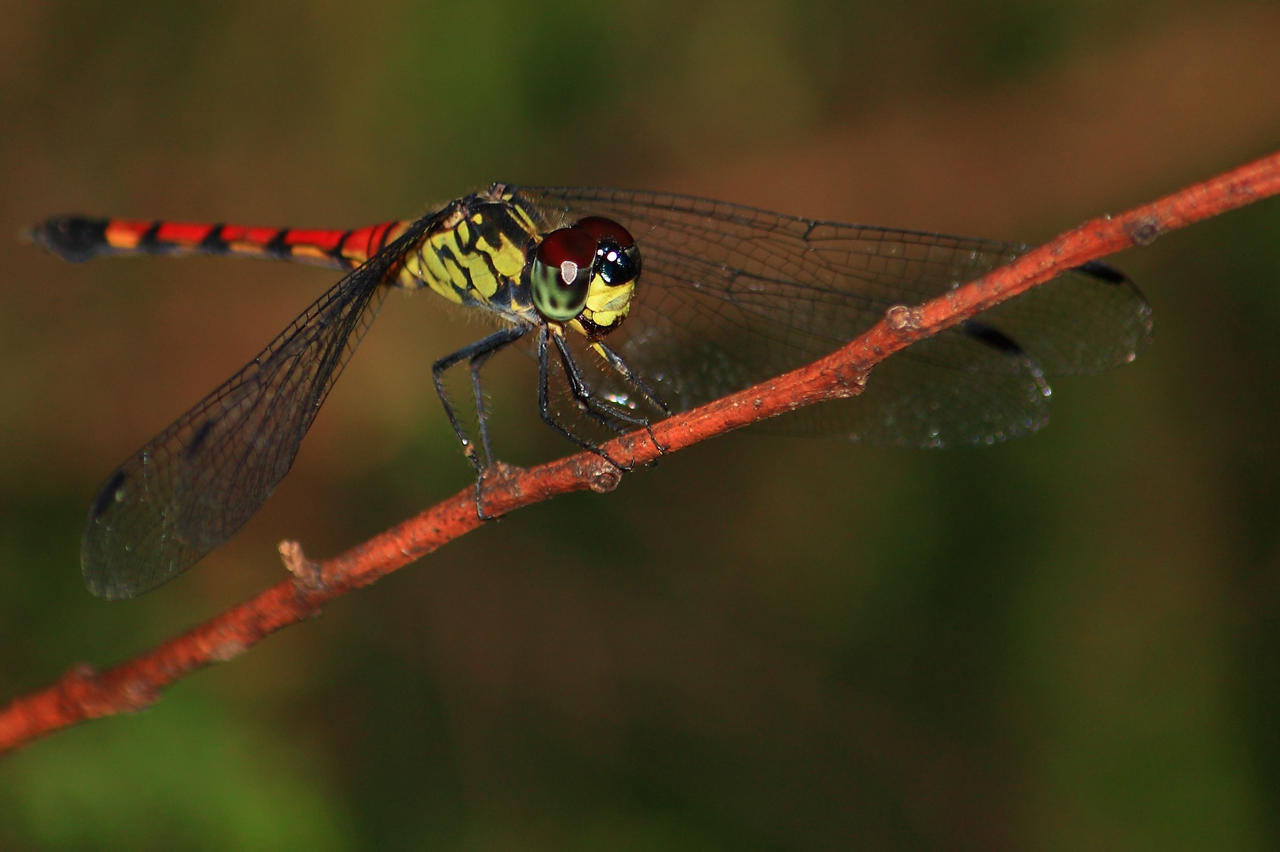 dragonfly 2638 by craigp-photography