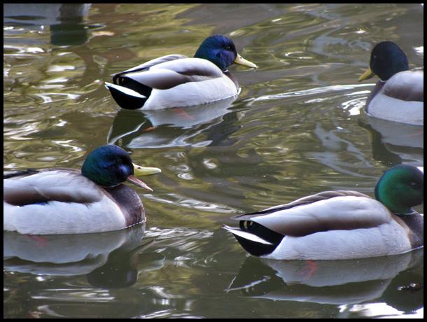 .:Ducks:. by Erriewon