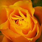 Lush Yellow Rose by perfect12386