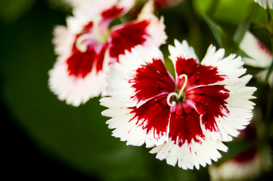 Red and white flowers by perfect12386 on deviantart red and white flowers by perfect12386 mightylinksfo Gallery
