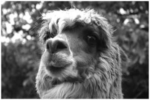 Llama by stolat