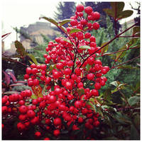 Red berries on a rainy morning