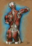 Back Muscle Study