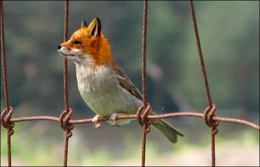Foxbird?